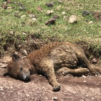 Tanzania Safari Hyena